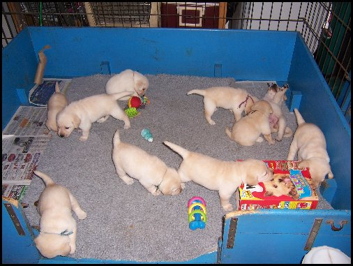 yellow lab puppies playing
